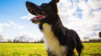 Close up portrait of playful purebred border collie dog playing outdoors in the city park. Adorable puppy enjoying a sunny day in the nature